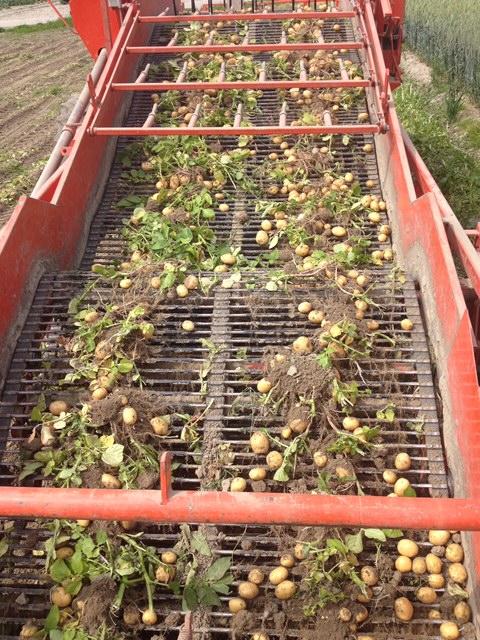 aardappels rooien in Spijk